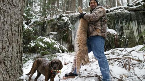 Bobcat hunt with hounds