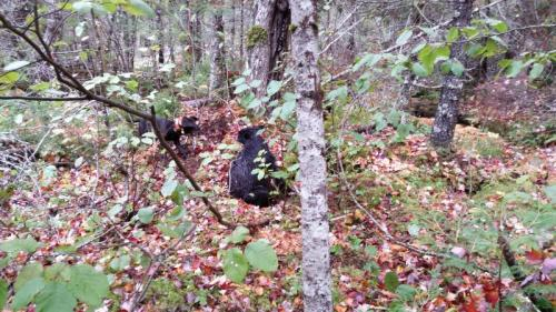 Black bear hunts in Maine