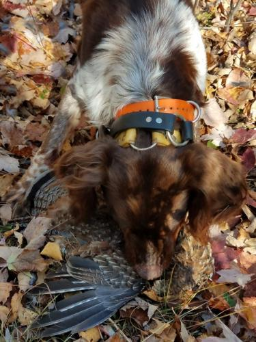 Hound hunting in Maine for upland birds