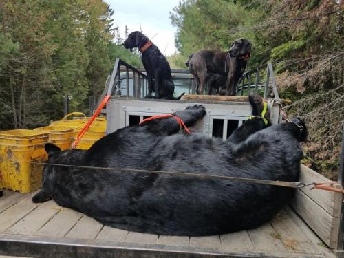 Maine guided bear hunt