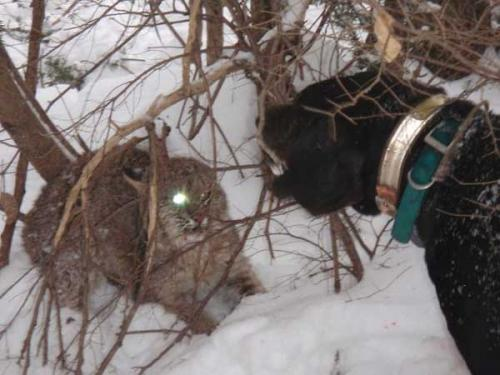Maine guide services for bobcats