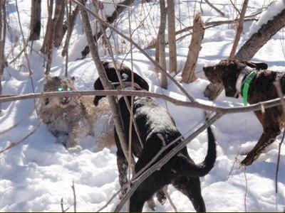 Hounds corning a Maine bobcat