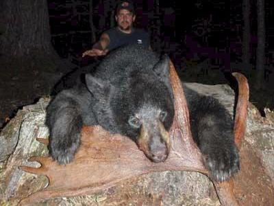 Maine guided bear hunts