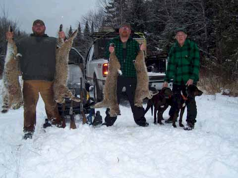 Guided bobcat hunting in Maine