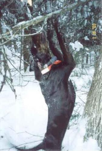 Maine guided services for bobcats