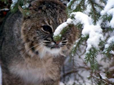 Maine Bobcat
