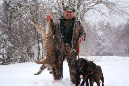 Bobcat hound hunting in Maine