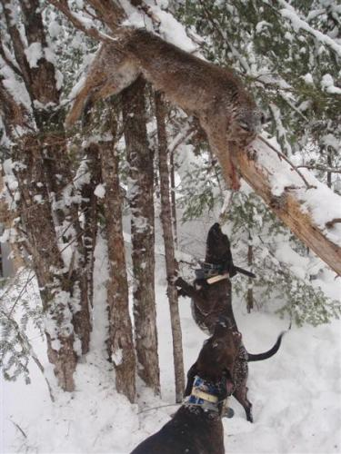 Guide service for Bobcat hunting in Maine