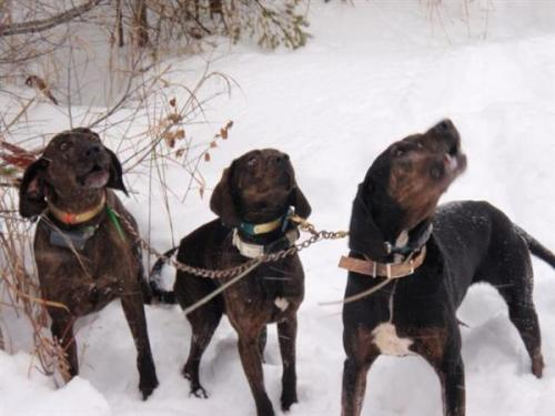Blackbear hunting in Maine with hounds