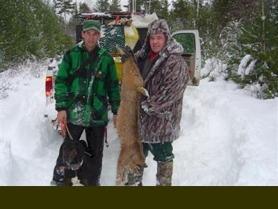 Trophy bobcat hunt in Maine
